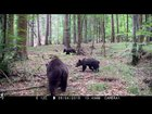 Brown bear sow with cubs foraging in the forest.