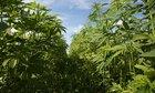 Hemp Legalization Is Officially In The Final Farm Bill