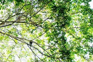 Un mono aullador en los árboles.