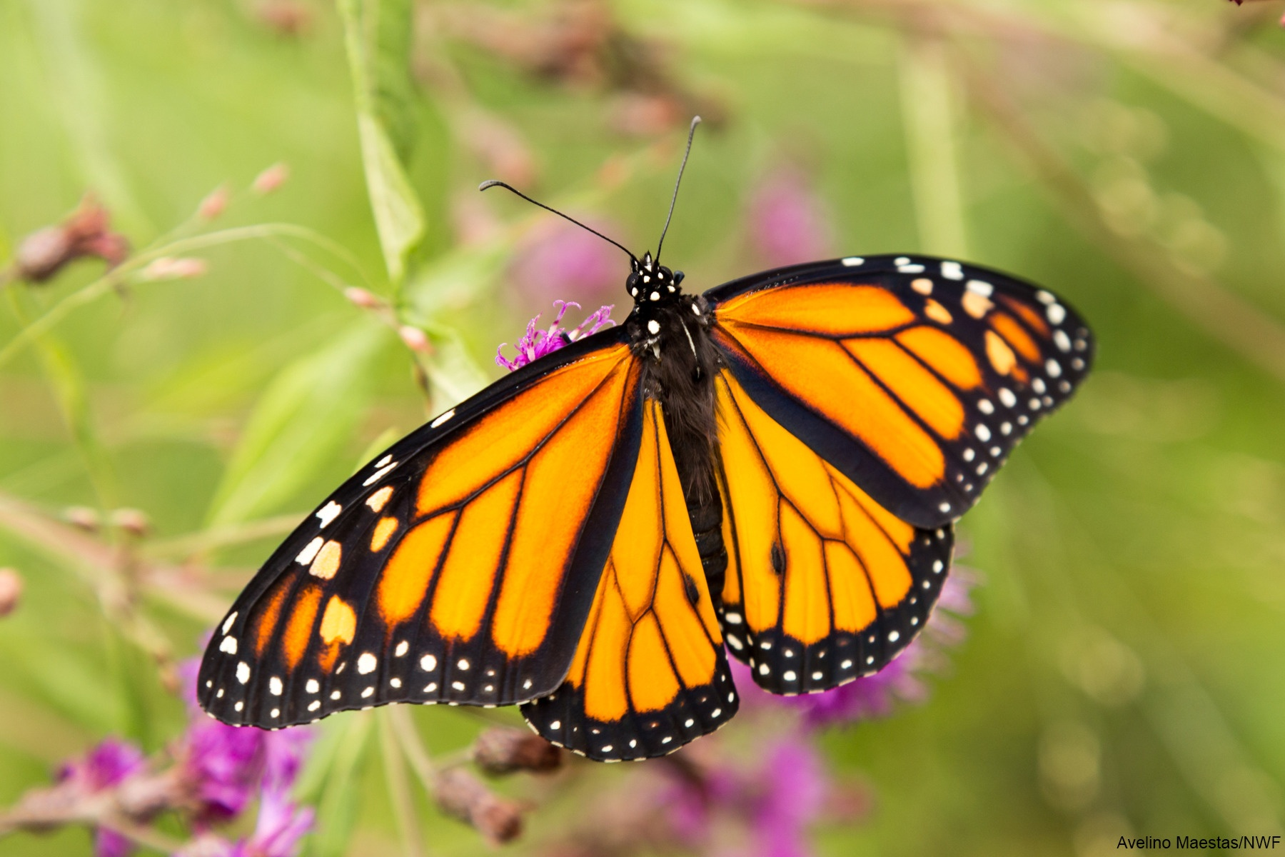 A Visual Journey Through The Monarch Life Cycle The