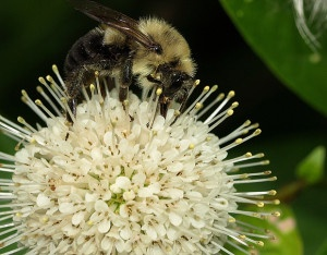 Bumblebee on buttonbush by Laura Tangley
