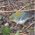 A migratory Northern Parula spotted on PS41's green roof. Photo: Vicki Sando