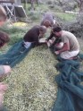 Olives are then put into sacks ready for the press.