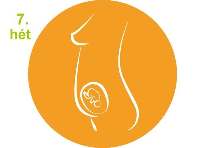 Terhesség hétről hétre - 7.hét