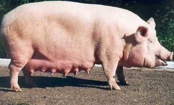 Как поросится свинья в домашних условиях Клуб любителей