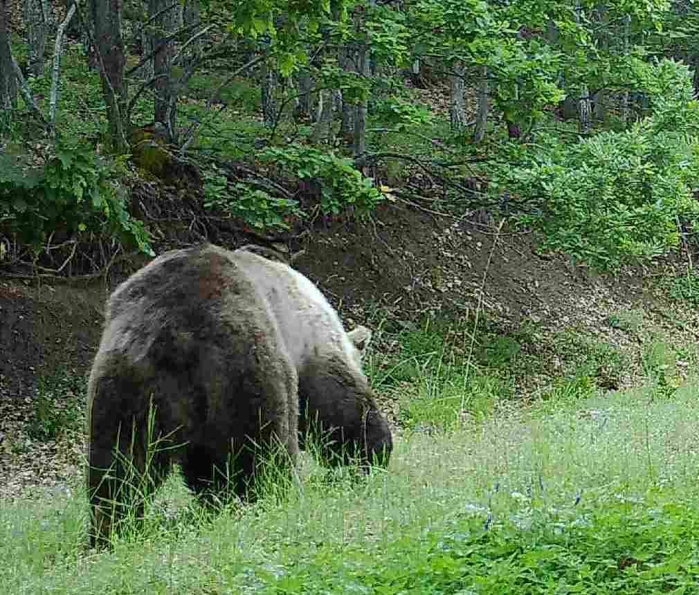 Неделното попладне потпелистерската мечка го искористи за слободна прошетка