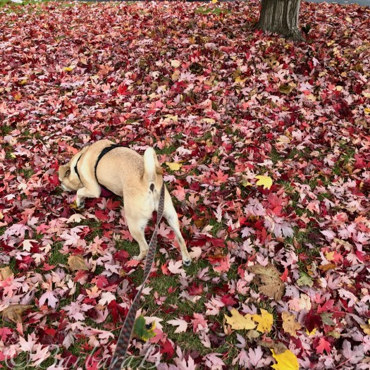 small dog sniffing coloured leaves
