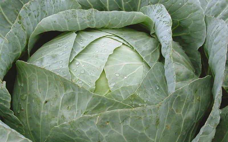 Лучшие поздние сорта белокочанной капусты для средней полосы