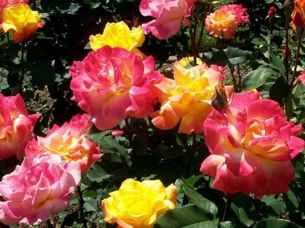 Штамбовая форма роз: особенности выращивания, фото ухода и ...