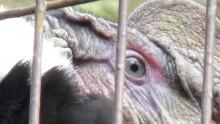 上野動物園 コンドル