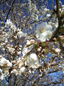 舎人公園 お花見