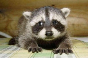 Baby Raccoon Picture