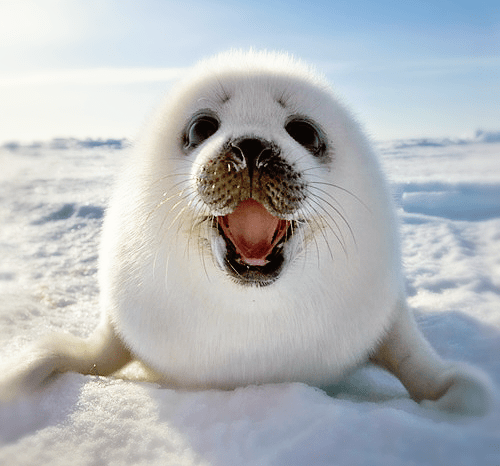 Baby Seal Picture