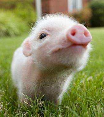 https://i1.wp.com/babyanimalzoo.com/wp-content/uploads/2011/12/cute-baby-piglet.jpg