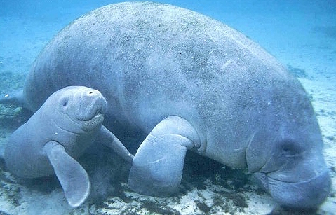 https://i1.wp.com/babyanimalzoo.com/wp-content/uploads/2012/05/baby-manatee-and-mom.jpg