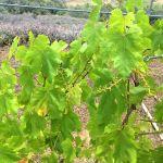 growing grape leaves