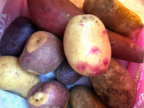 hunting for potatoes at Specialty Produce