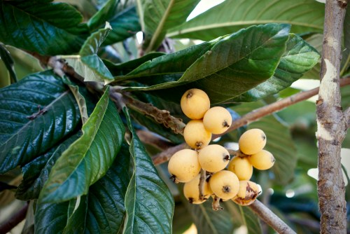 Loquat Tree with fruit ready to make into loquat sorbet