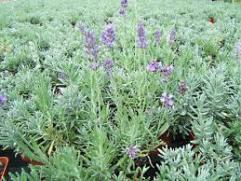 Semis de fines-herbes