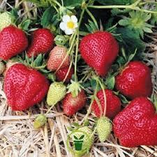 Semis de fraises