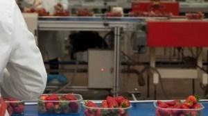 30755 l confeccion y manipulacion de fresa 1