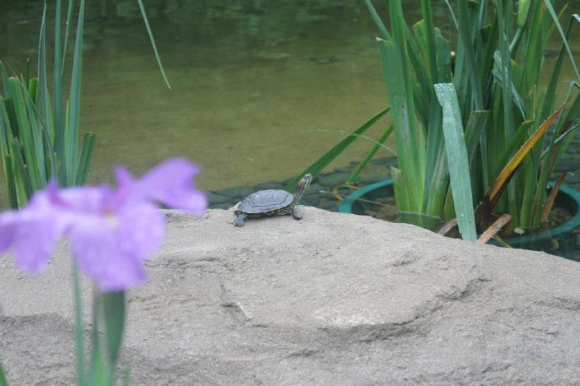 Kura-kura di kolam