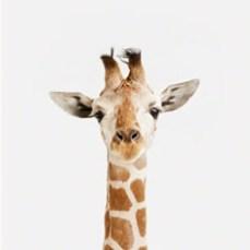 Giraffe-CloseUpTN