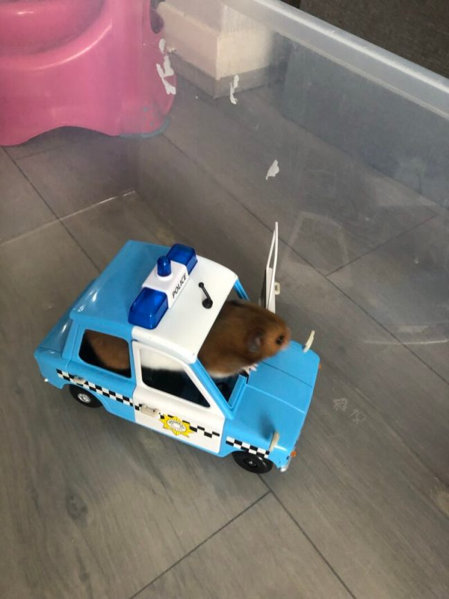 A hamster in a toy police car