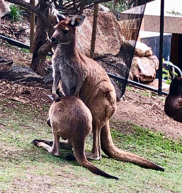 Kangaroo-Joey-Mommy