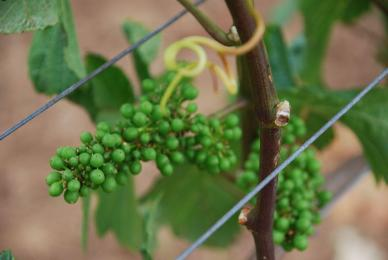 Baby-grapes-3