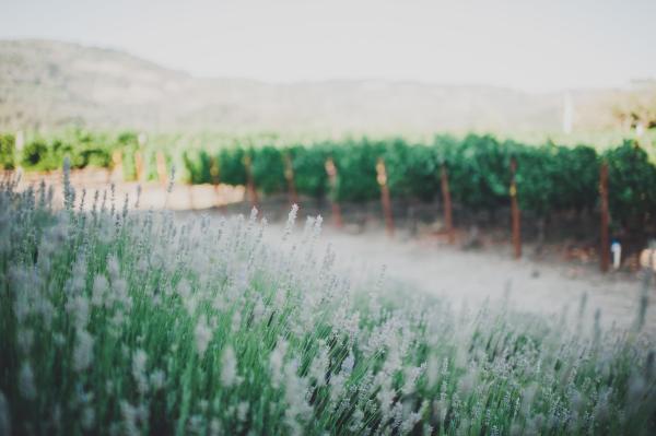 Madriga Family Winery Lavender