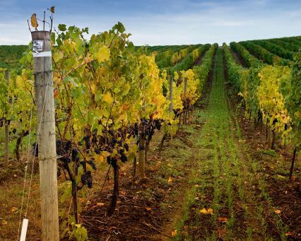 dobbes-vineyard