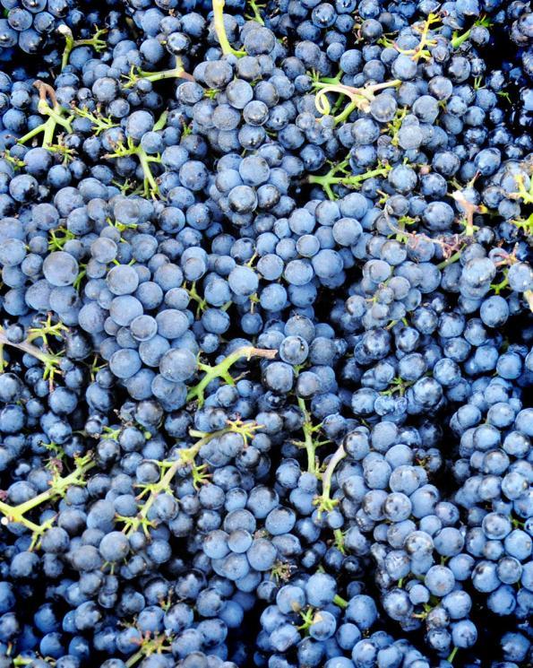Oregon Pinot noir grapes