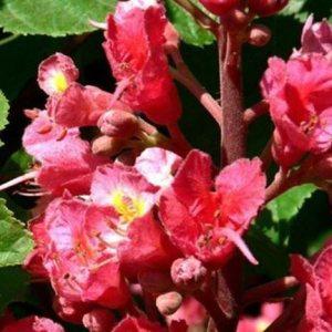 Red Chestnut original englische BIO Bachblüten Tropfen Nr. 25