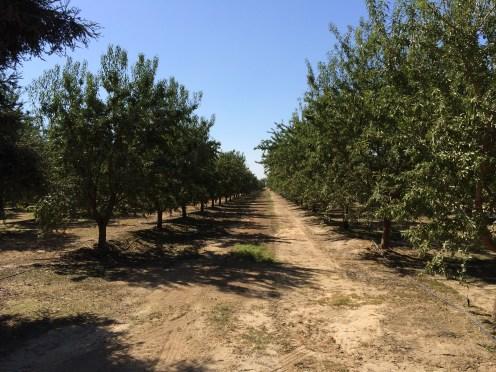 almond, agriculture, farm