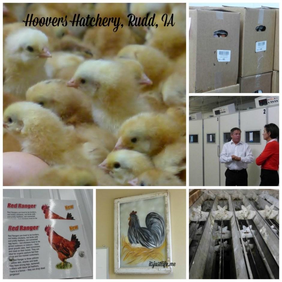 HooversHatchery Collage