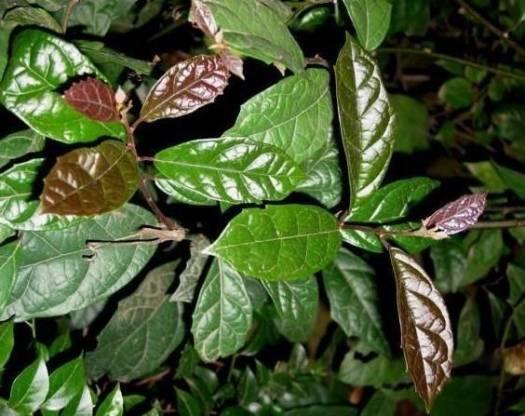 Cây xạ đen là loại cây giúp chữa bệnh ung thư gan