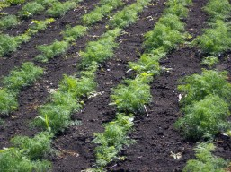 The sea of dill