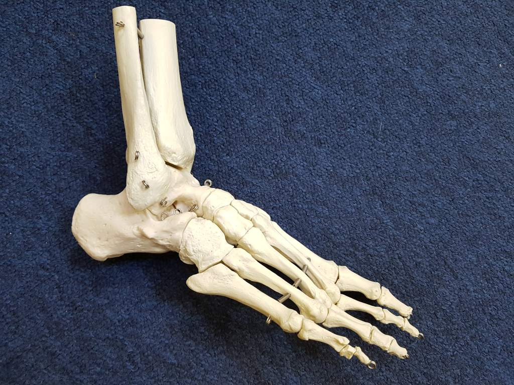 Image shows a model skeleton foot containing 26 bones to accompany the blog from Mykel Mason