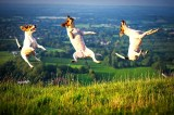 Picture of three happy Terrier dogs jumping in the Eastbourne countryside