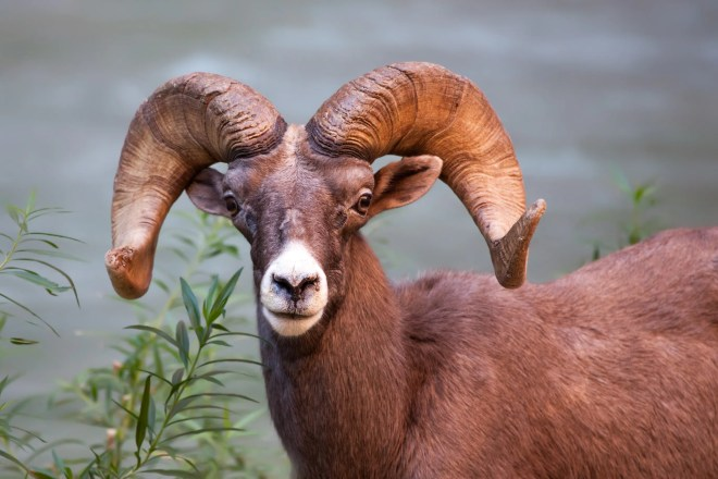 Desert Bighorn Sheep at Havasupai
