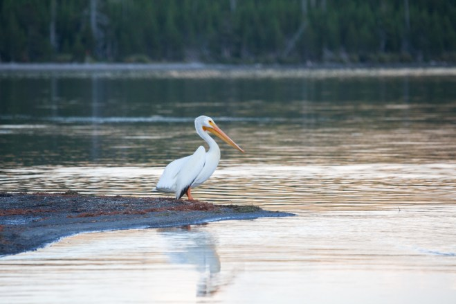 Yellowstone White Pelican