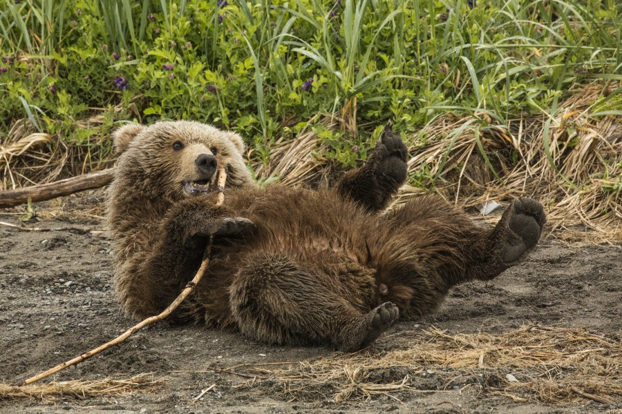 Brown Bears of Alaska - Lake Clark NP