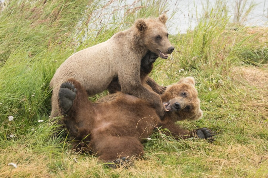 Brown Bears of Katmai in the Fall 2019
