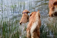 Wait for me. Phanny follows the big dogs into the little pond.