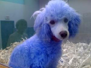 blue-dog