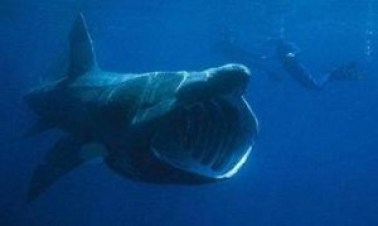 Basking Shark with divers