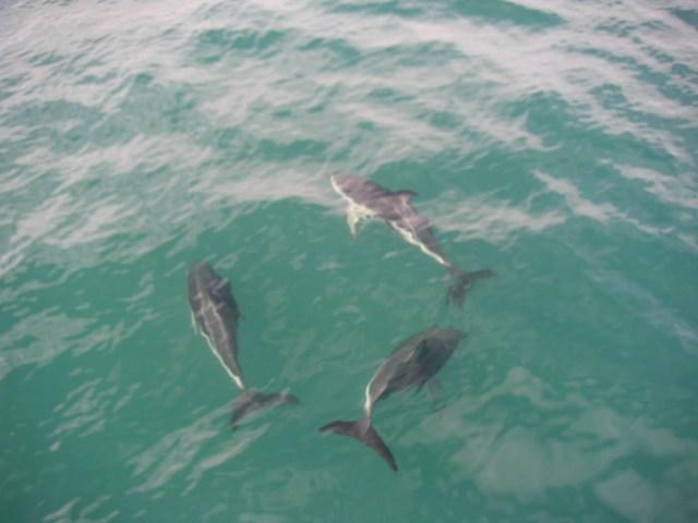 Kaikoura New Zealand Dolphins