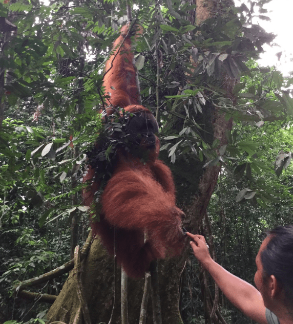 地震だけではない!スマトラ島でスマトラトラやオラウータンに出会う世界自然遺産のジャングル観光