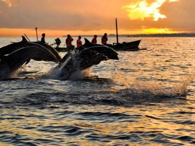 Dolphins at Lovina